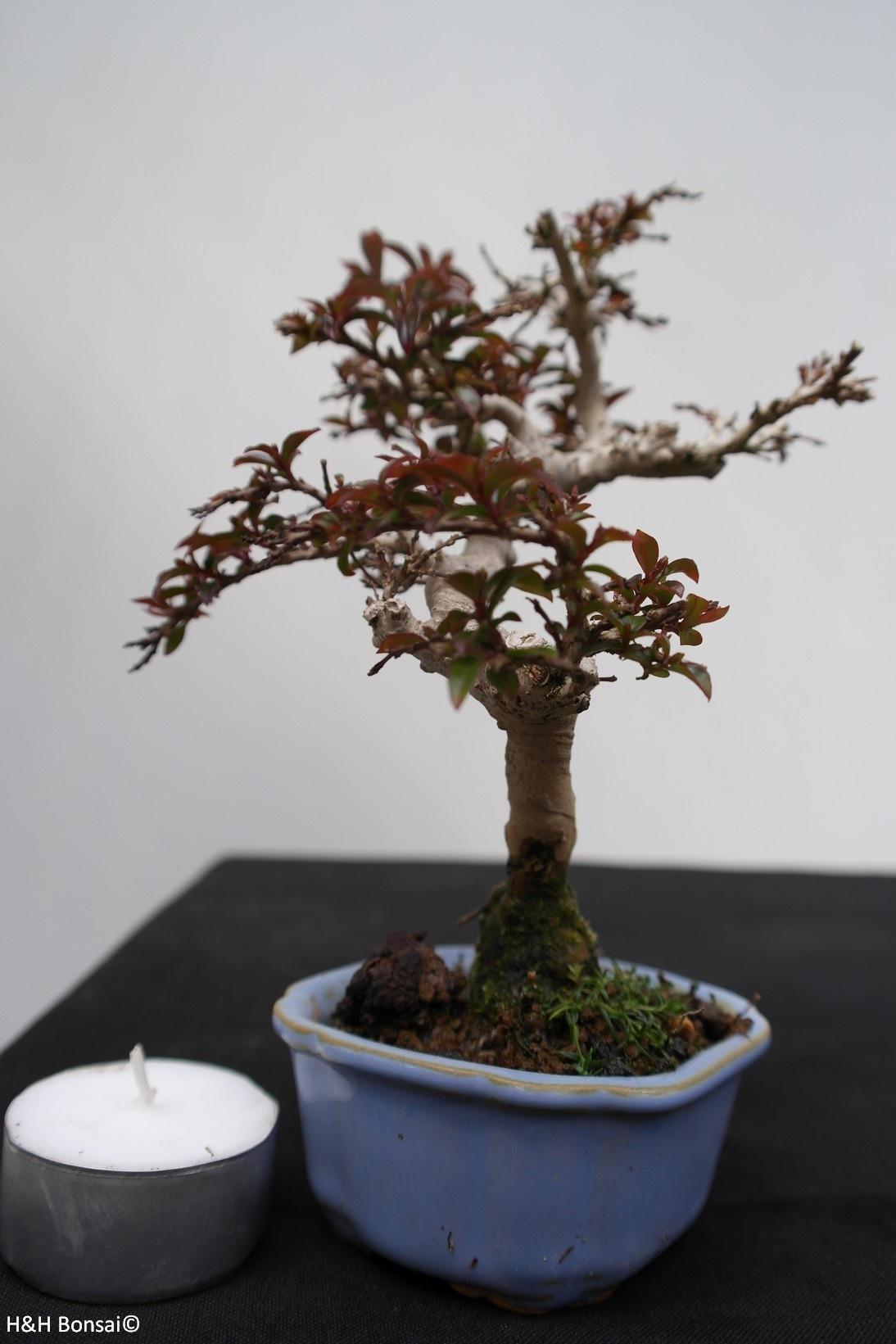 Bonsai Shohin Lagerstroemia, no. 7788