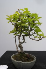 Bonsai Shohin Japanese Winterberry, Ilex serrata, no. 7789