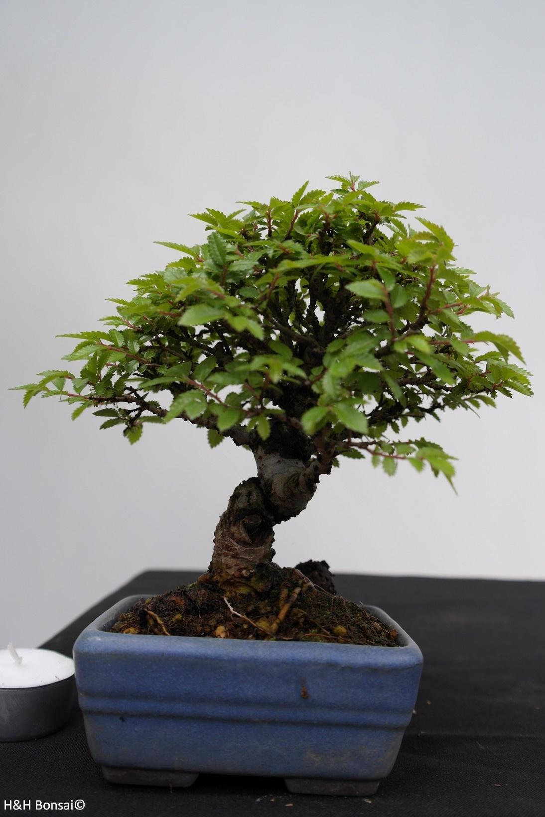 Bonsai Shohin Zelkova nire, no. 7792