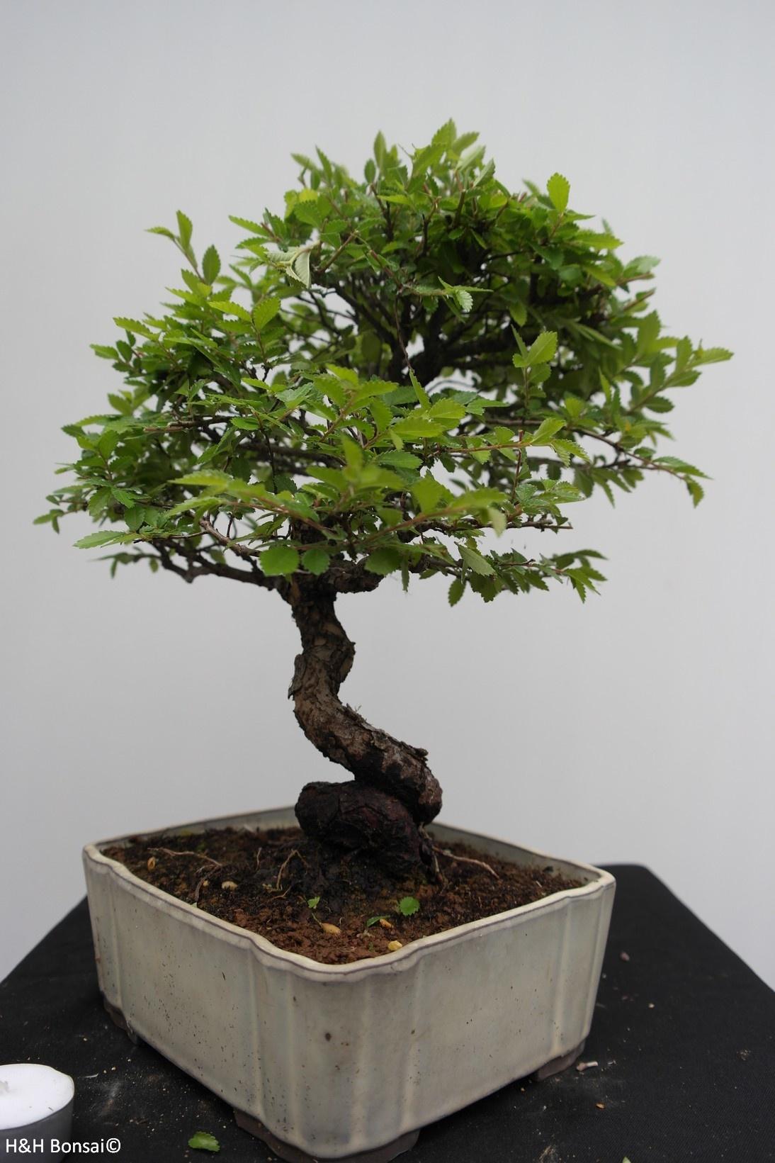 Bonsai Zelkova nire, no. 7793