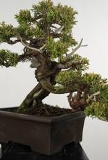 Bonsai Ginepro cinese itoigawa, Juniperus chinensis itoigawa, no. 5126