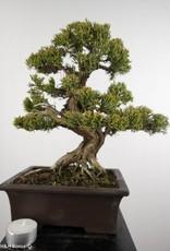 Bonsai Ginepro cinese itoigawa, Juniperus chinensis itoigawa, no. 5127