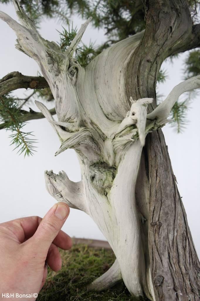 Bonsai Ginepro rigida, Juniperus rigida, no. 5142