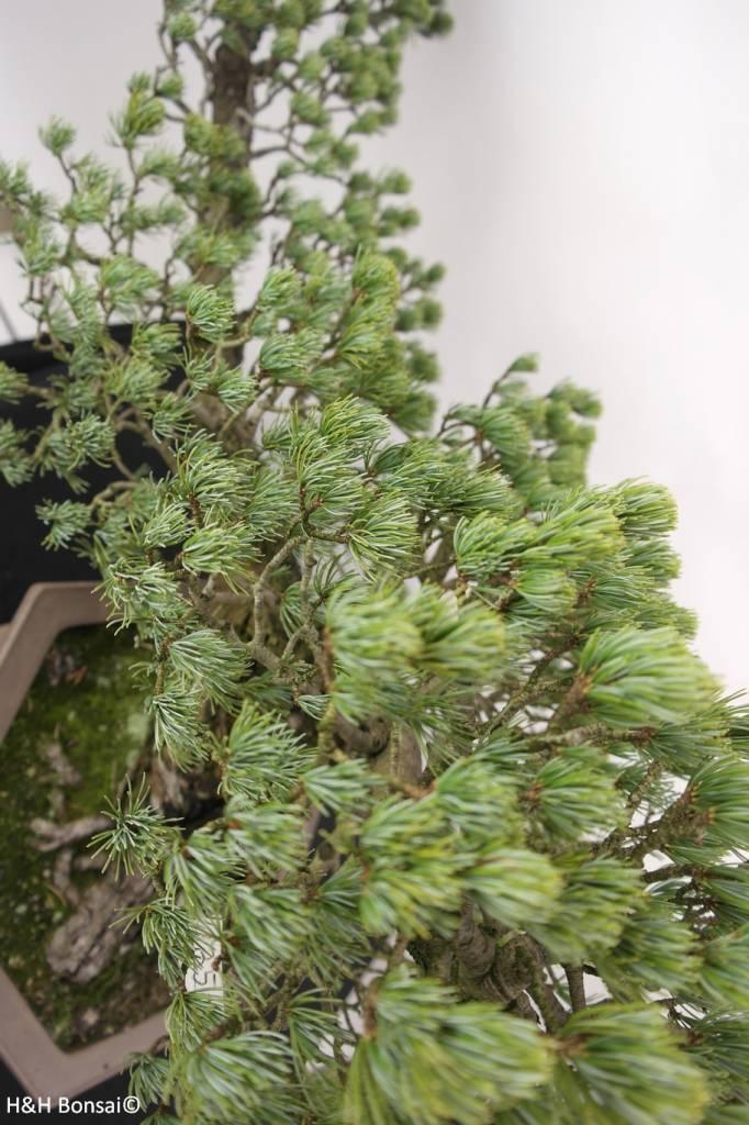Bonsai White pine, Pinus penthaphylla, no. 5163
