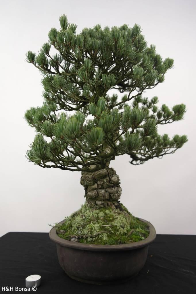 Bonsai Pino a cinque aghi, Pinus penthaphylla, no. 5174