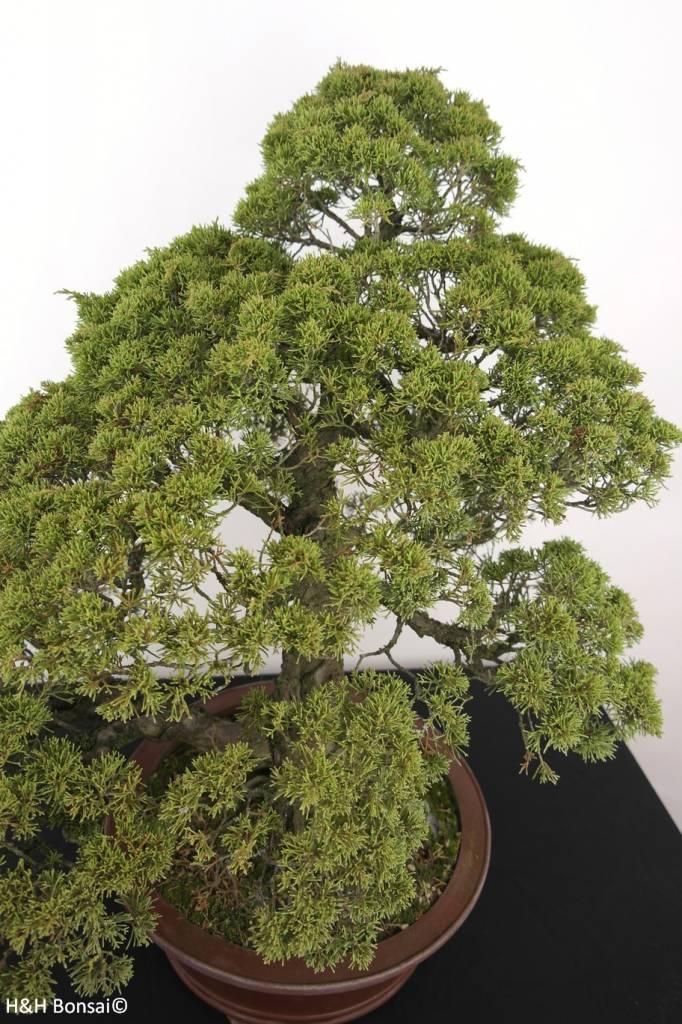 Bonsai Ginepro cinese itoigawa, Juniperus chinensis itoigawa, no. 5181