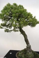 Bonsai Pino a cinque aghi, Pinus parviflora, no. 5258
