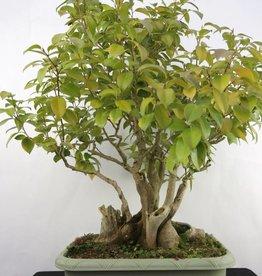 Bonsai Camellia japonica, raw material, no. 5278