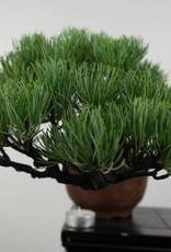 Bonsai Shohin Pino a cinque aghi, Pinus parviflora, no. 5397