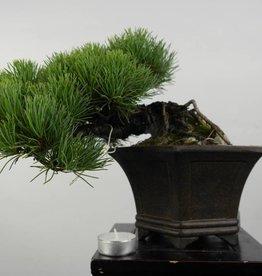 Bonsai Shohin Pino a cinque aghi, Pinus parviflora, no. 5398