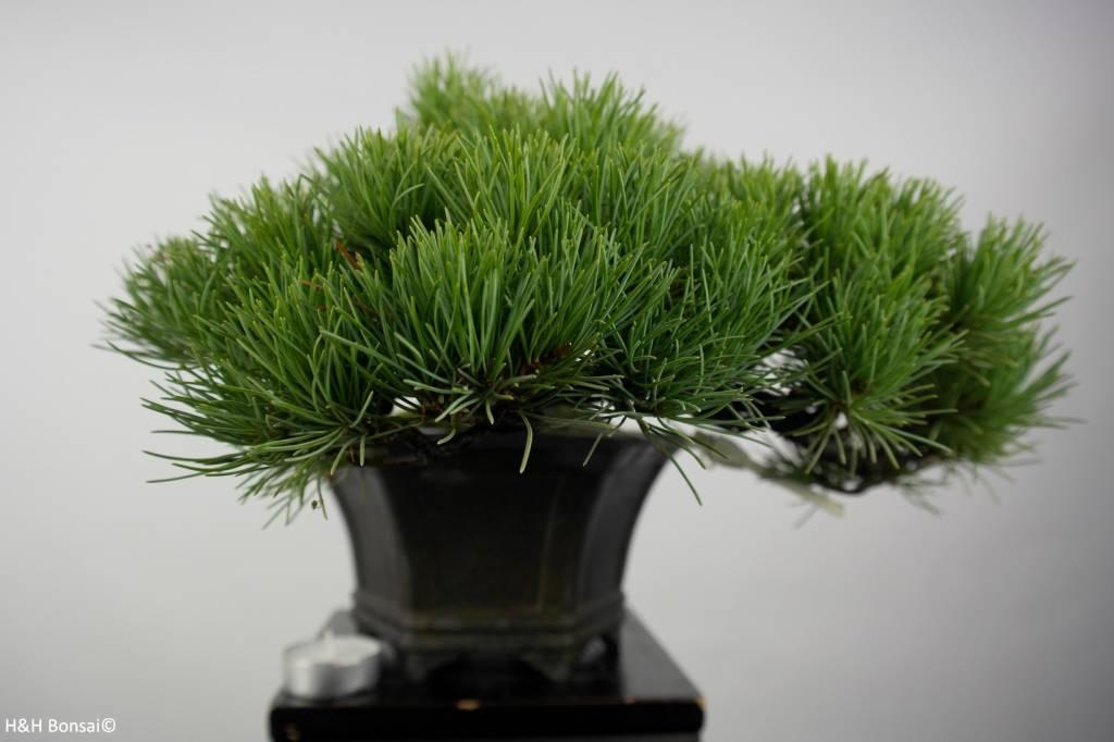 Bonsai Shohin Japanese White pine, Pinus parviflora, no. 5398