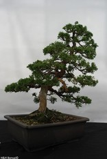 Bonsai Chinese Juniper, Juniperus chinensis, no. 5495