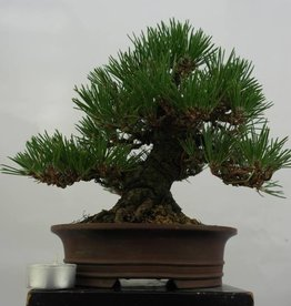 Bonsai Shohin Pino nero, Pinus thunbergii, no. 5506