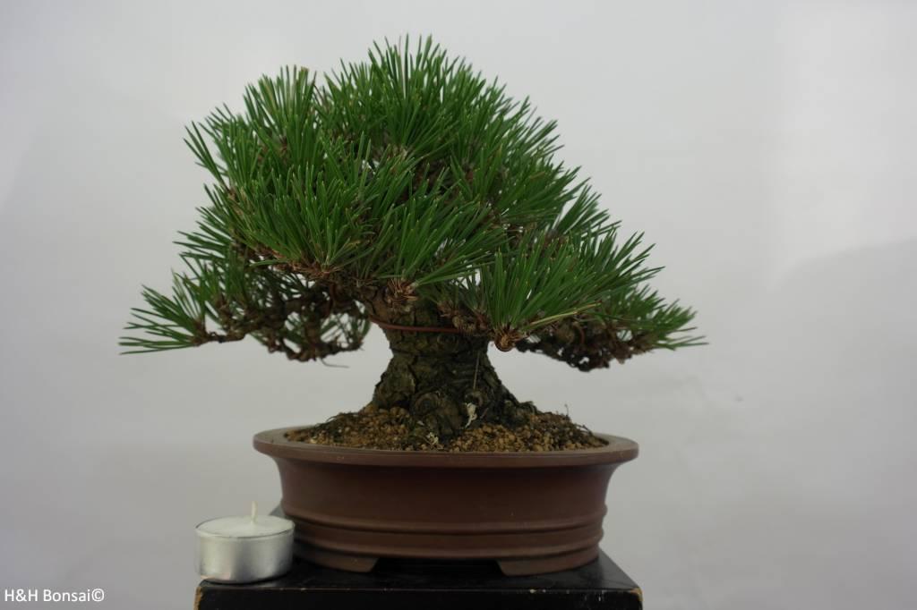 Bonsai Shohin Japanese Black Pine, Pinus thunbergii, no. 5506