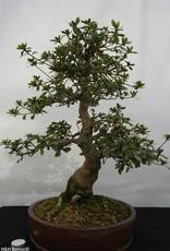 Bonsai Azalea Satsuki Kaho, no. 5531