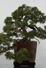 Bonsai Ginepro cinese, Juniperus chinensis, no. 5540
