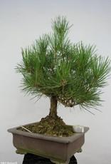 Bonsai Japanese Black Pine, Pinus thunbergii, no. 5723