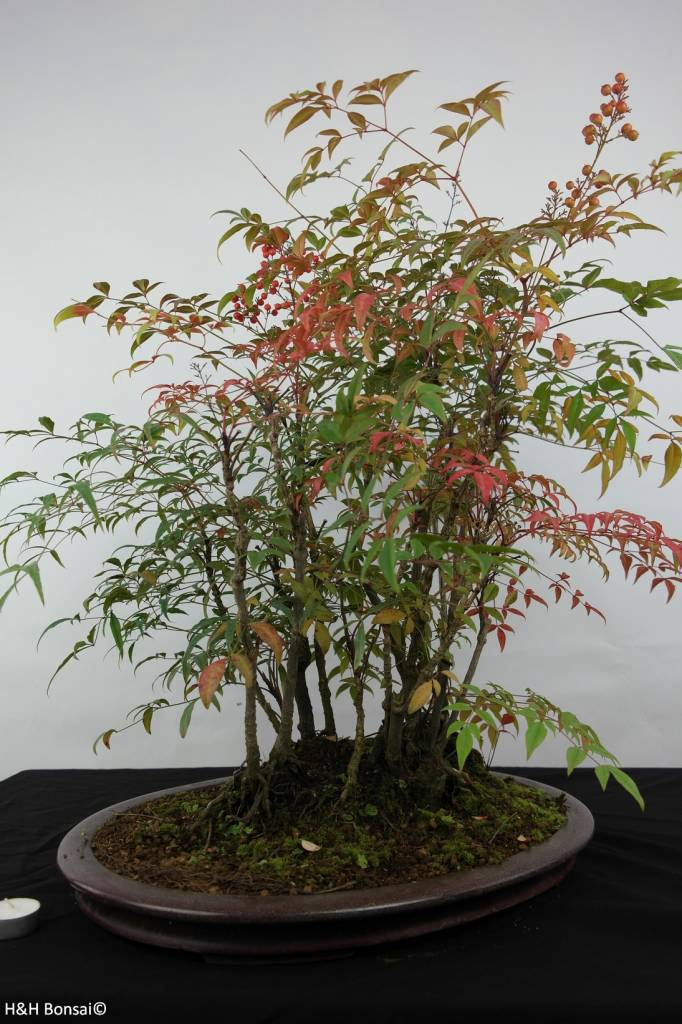 Bonsai Nandina domestica, no. 5731
