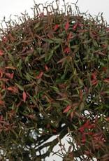 Bonsai Trachelospermum asiaticum, no. 5107