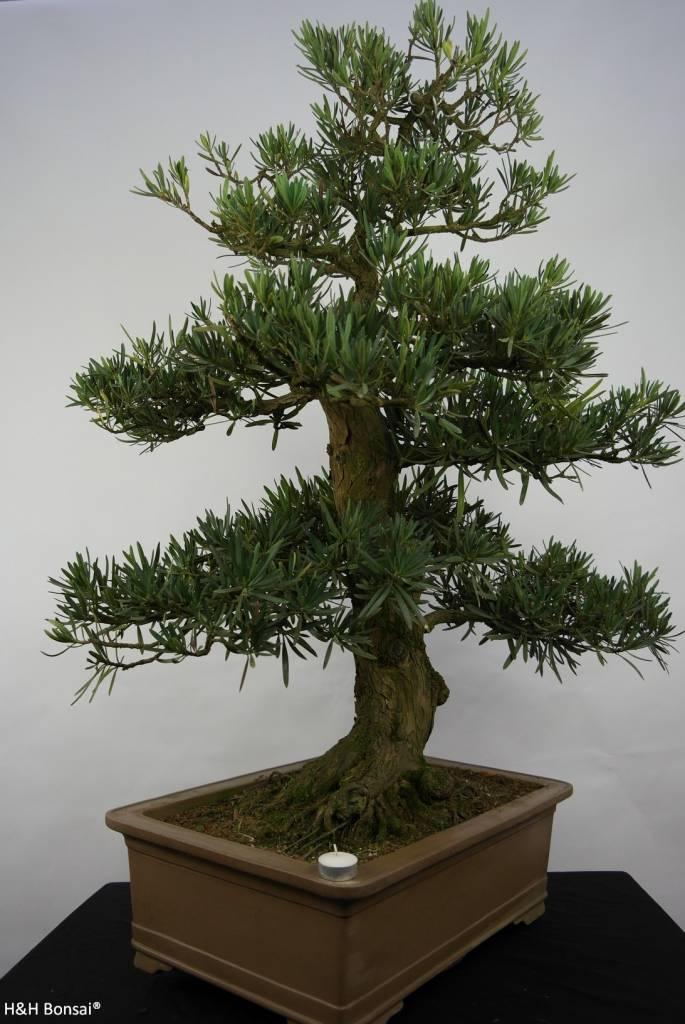 Bonsai di Podocarpo, Podocarpus, no. 5797