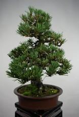 Bonsai Pino nero kotobuki, Pinus thunbergii kotobuki, no. 5494
