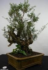 Bonsai Syzygium sp. , no. 5825
