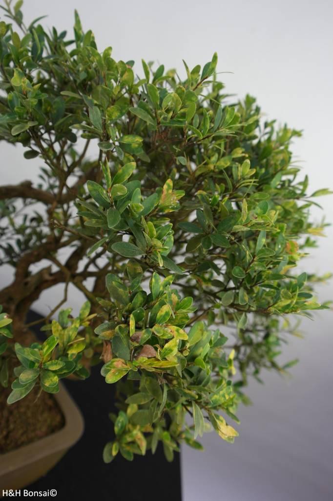 Bonsai Syzygium sp. , no. 5826