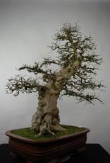 Bonsai Korean Hornbeam, Carpinus coreana, no. 5183