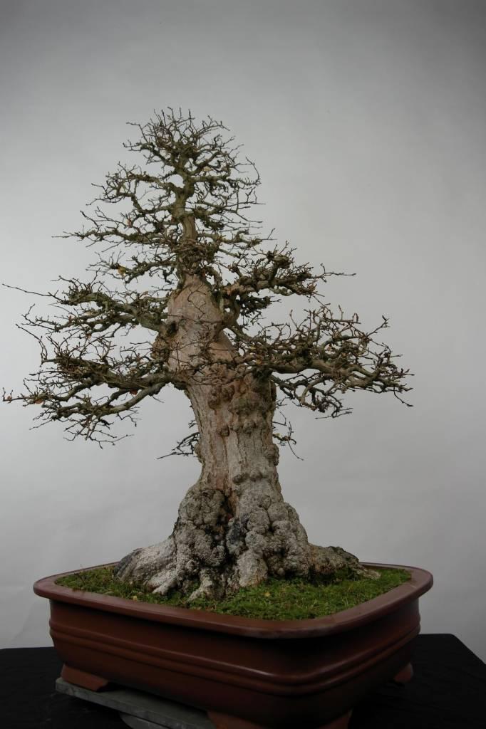 Bonsai Carpino coreano, Carpinus coreana, no. 5183