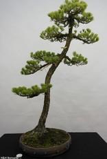 Bonsai Pino a cinque aghi, Pinus pentaphylla, no. 5838