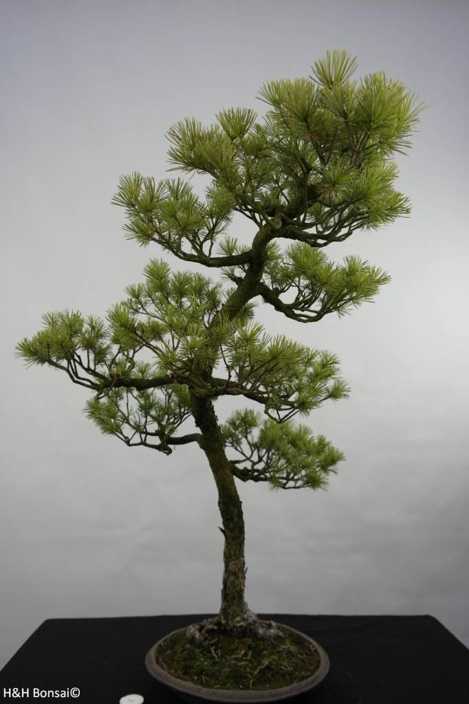 Bonsai Pino a cinque aghi, Pinus pentaphylla, no. 5842