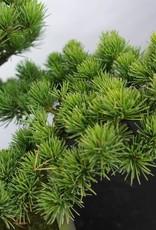 Bonsai Pino a cinque aghi, Pinus pentaphylla, no. 5843