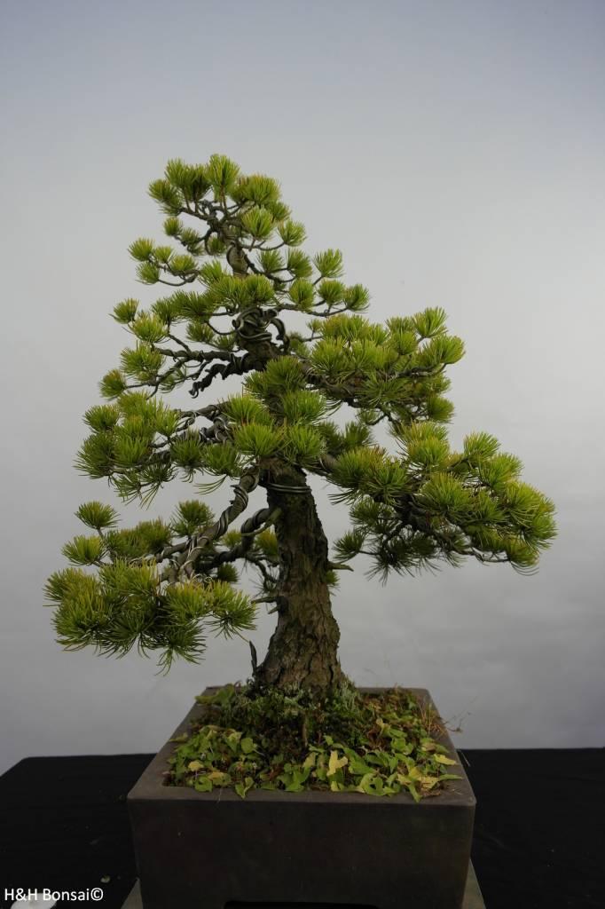 Bonsai Pino a cinque aghi, Pinus pentaphylla, no. 5845