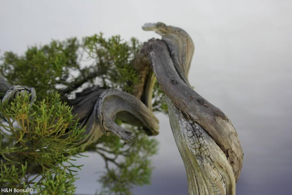 Bonsai Ginepro cinese, Juniperus chinensis itoigawa, no. 5846