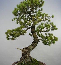 Bonsai Pino a cinque aghi, Pinus pentaphylla, no. 5847