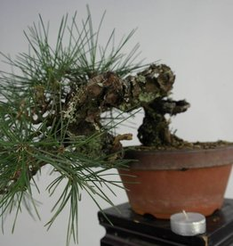 Bonsai Shohin Pino nero, Pinus thunbergii, no. 5849