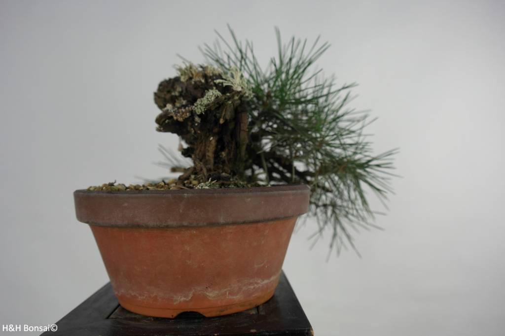Bonsai Shohin Pino nero, Pinus thunbergii, no. 5849