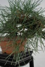 Bonsai Shohin Japanese Black Pine, Pinus thunbergii, no. 5849