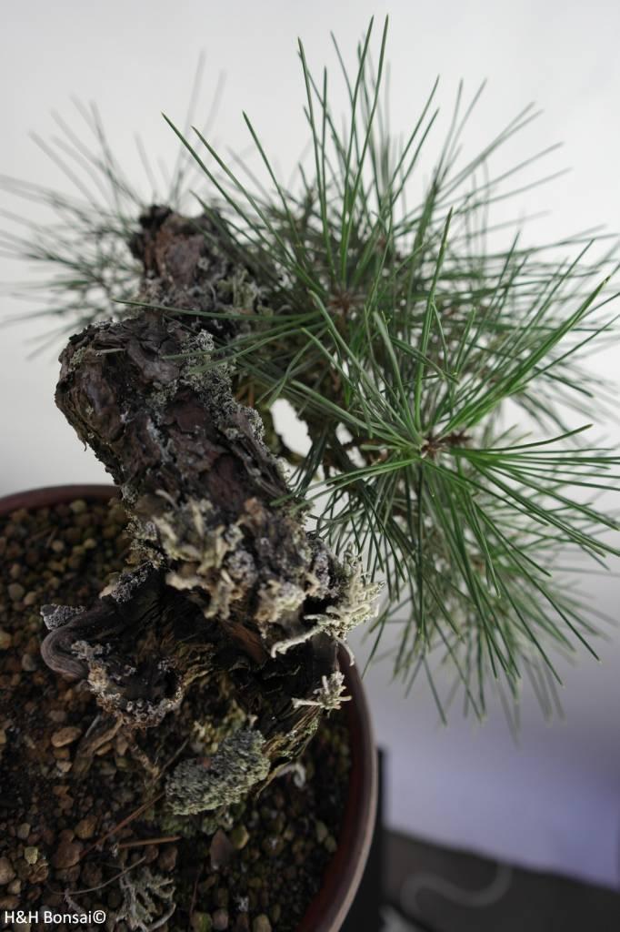 varieties-of-japanese-black-pine