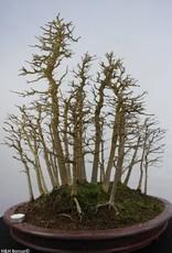 Bonsai Acero tridente, Acer buergerianum, no. 5852