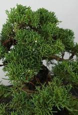 Bonsai Ginepro cinese, Juniperus chinensis, no. 5863