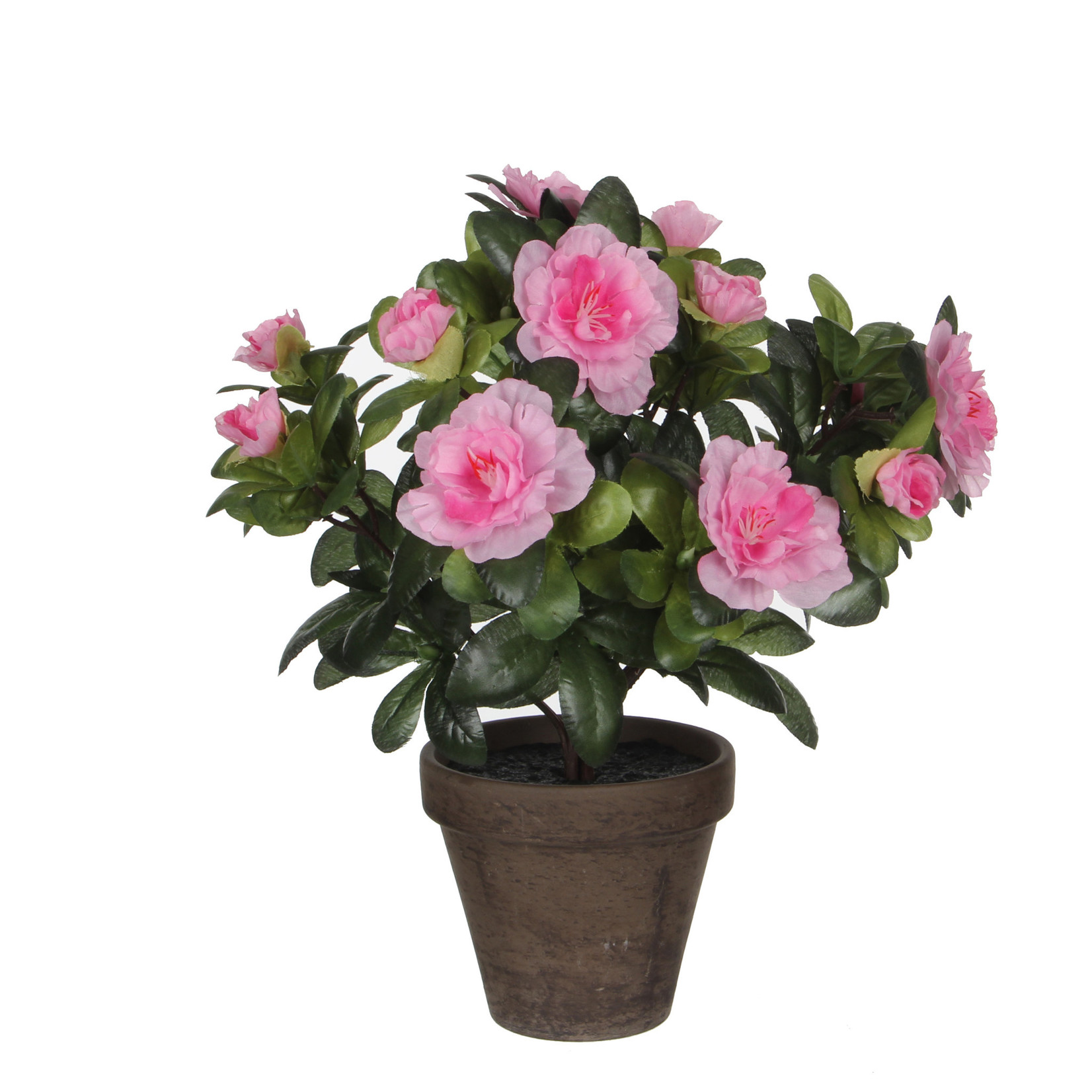 Azalea pink in pot Stan grey