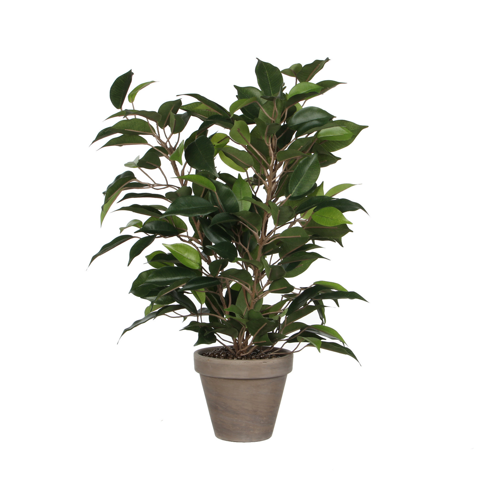 Ficus Natasja green in pot Stan grey