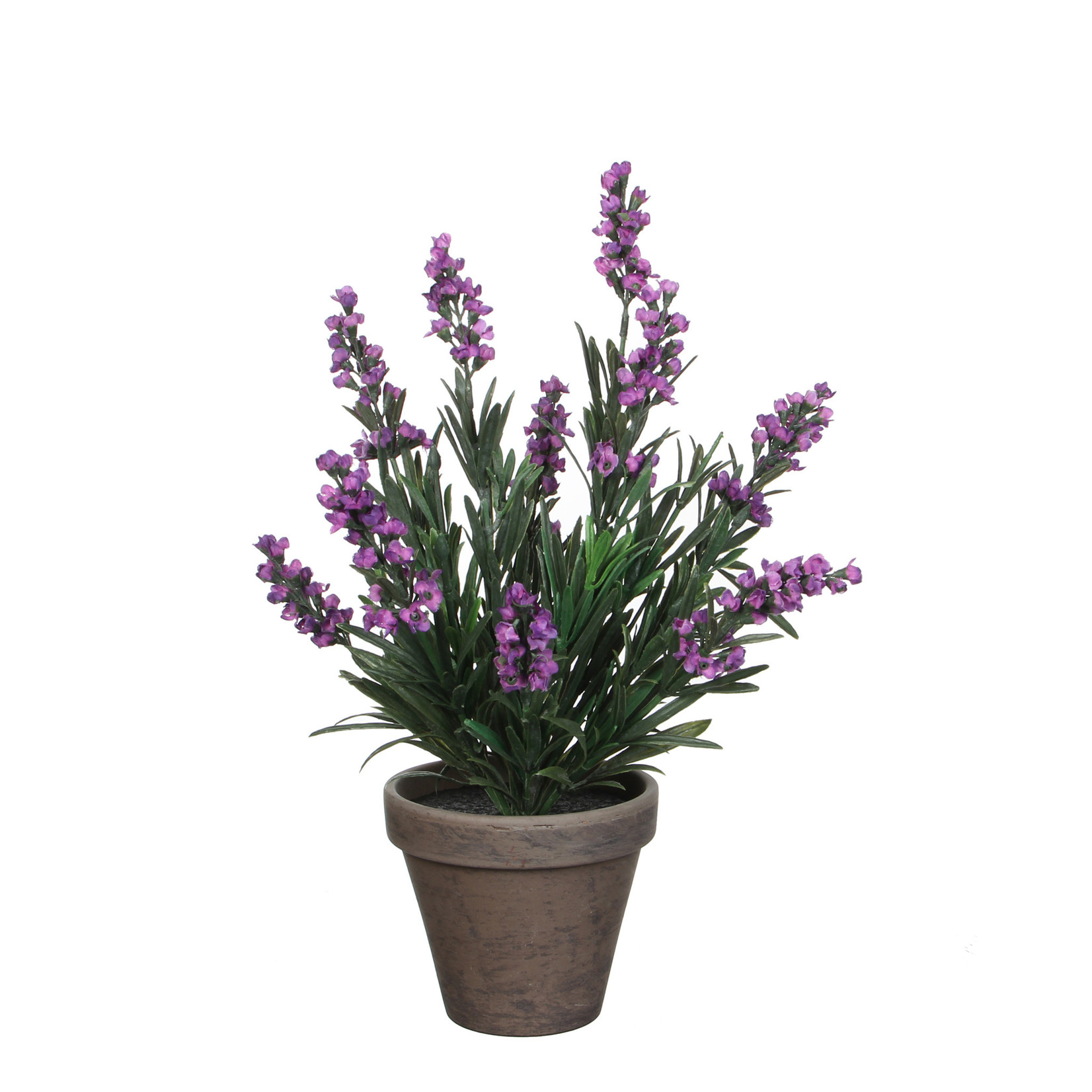 Lavender purple in pot Stan grey