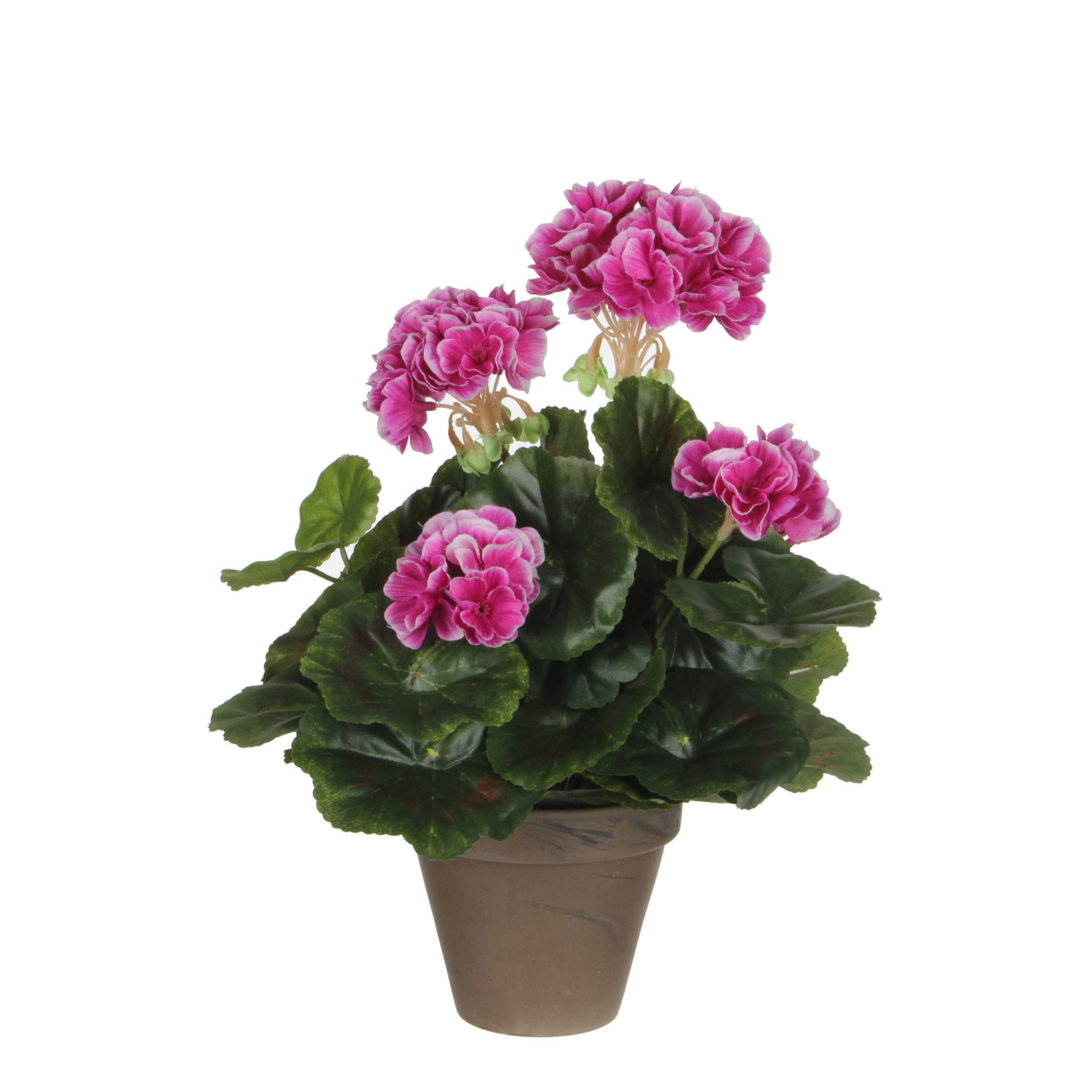 Geranium purple in pot Stan grey