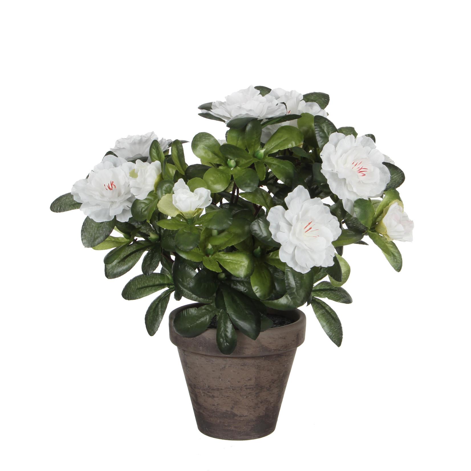 Azalea white in pot Stan grey