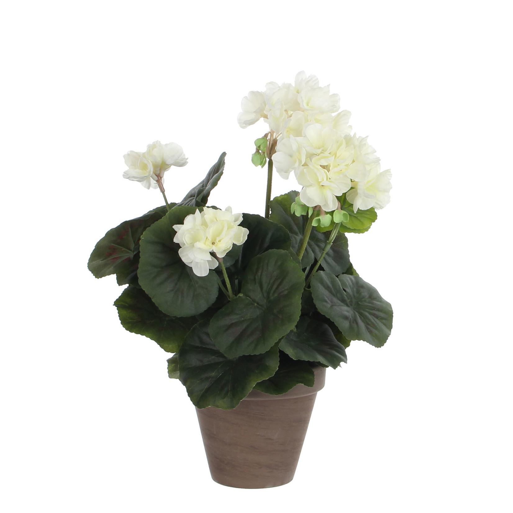 Geranium cream in pot Stan grey
