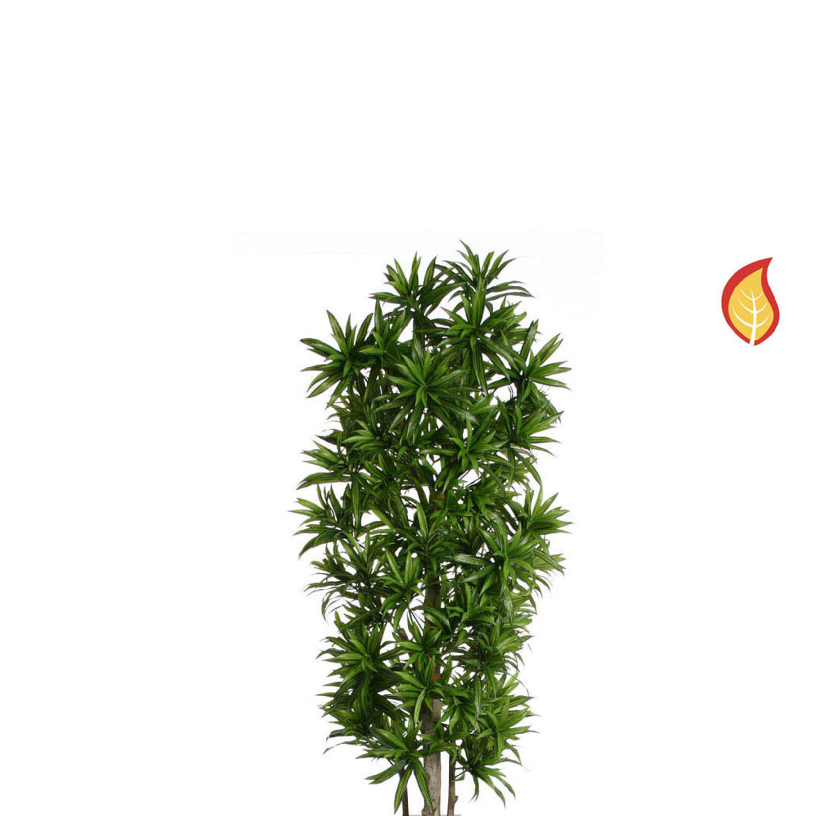 NTT Dracaena Song of Jamaica 180cm - Fire Rated