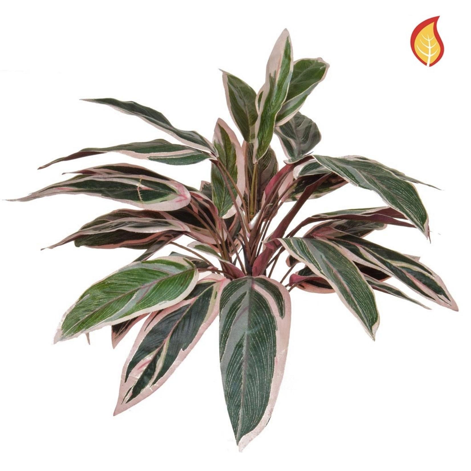 Plants Base Caladium Bush 40cm  - Fire Rated