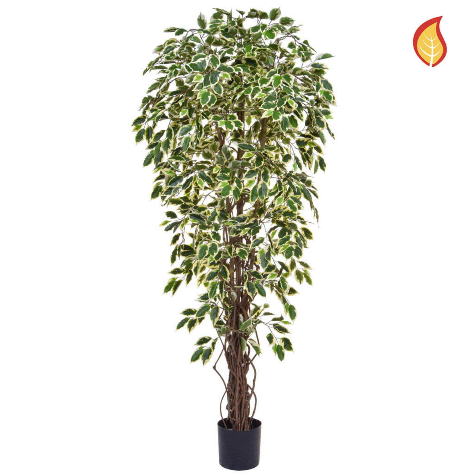 Ficus Liana Variegated 180cm - Fire Rated